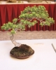 pino silvestrys