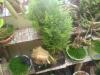 bonsaias pamkarapampa